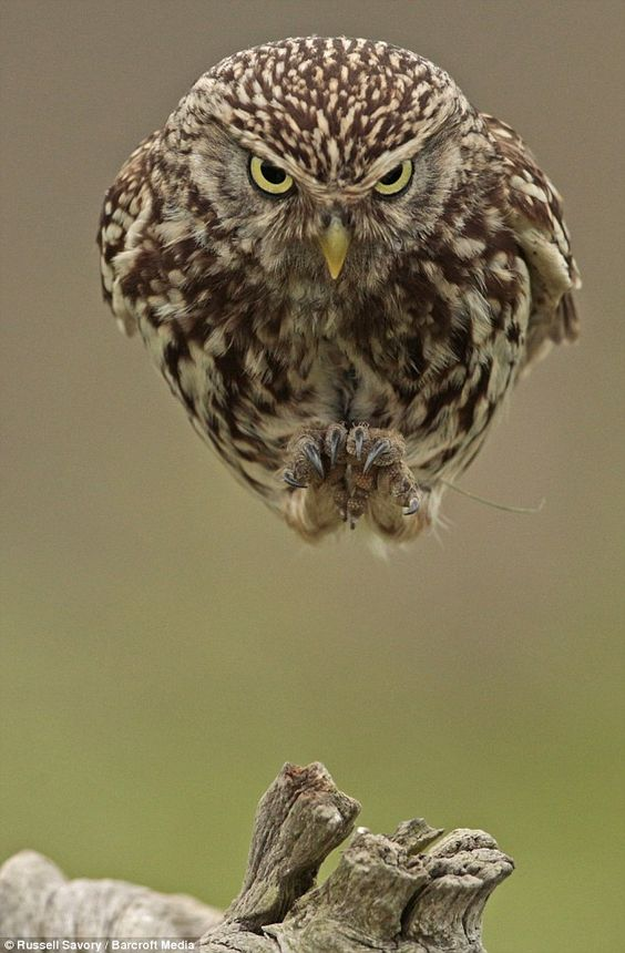Steely glare: An owl plunges out of the sky atStow Maries Aerodrome in Essex
