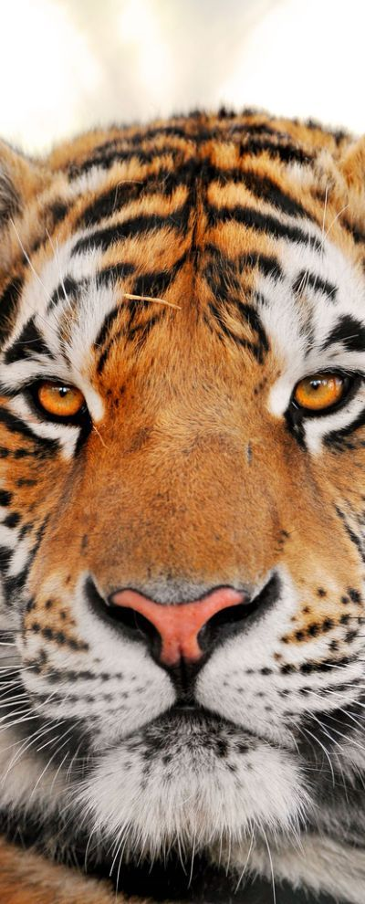 Siberian Tiger   ...........click here to find out more     http://googydog.com
