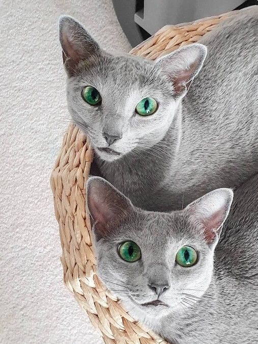 24 Pics Stray Cat Photos Funny Russian Blue Cat Russian Blue Cat Blue Cats Russian Blue