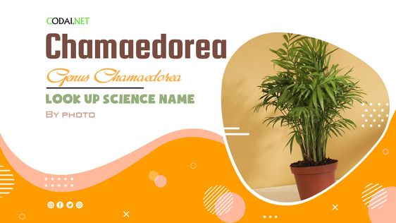 Look up Science Name by Photos: All species (& cultivars) from genus Chamaedorea