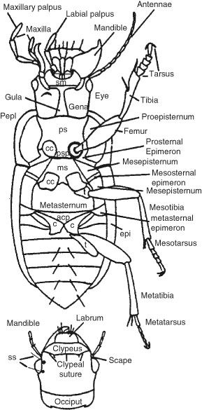 Beetle Anatomy Diagram