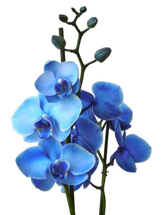 Blaue Orchideen Injektionen Und Skalpell Ihre Geheimnisse Gelftet Orchideen Blaue Geheimnisse Gelftet Ihre Injektionen Blaue Orchide Blue Orchid Flower Orchids Painting Blue Orchids