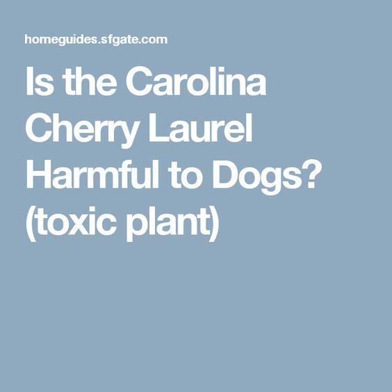 Is The Carolina Cherry Laurel Harmful To Dogs Carolina Cherry Laurel Laurel Broadleaf Evergreen