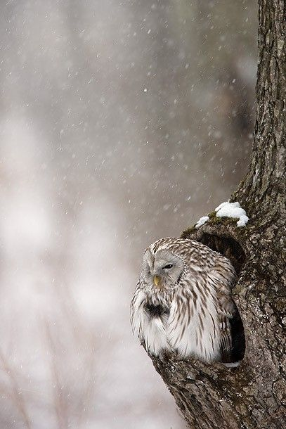 : Birds Owls, Hoot Hoot, Snow Owl, Owl S, Snowy Owl, Winter Owl, It S Cold