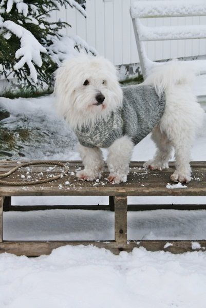 White fluffy dog in sweater upon sled in snow #adorableanimals #winterwonderland #whitedog