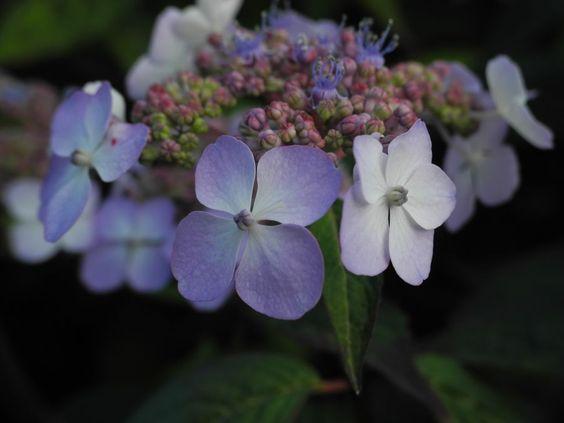 Gartenhortensie Bluete helllila Hydrangea macrophylla