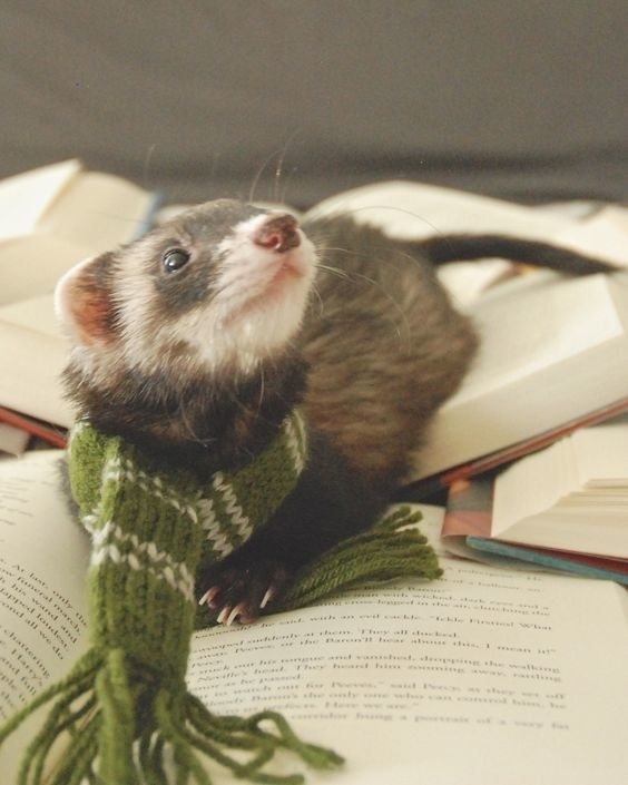 Just Photos Of Adorable Animals With Books Because The World Is Ugh Pet Ferret Cute Animals Ferret