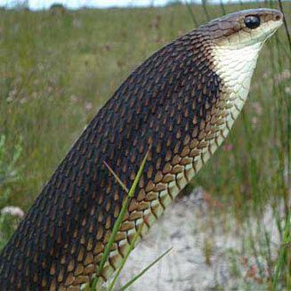 Dispholidus typus Back-fanged Tree-Snake