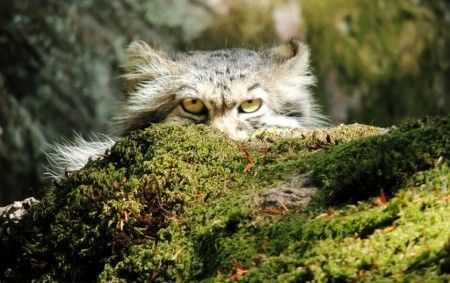Manul é conhecido como um dos felinos mais expressivos do mundo - Foto: Reprodução