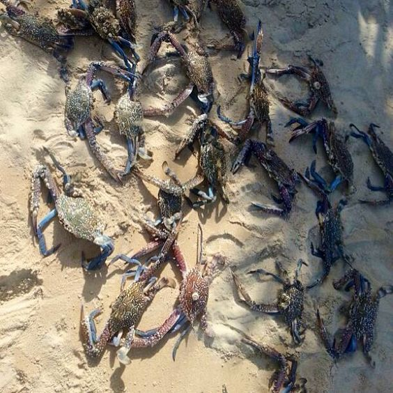 Blue tipped crabs at the noon for ecru shoot. More to come! #ecru #noon #noonforecru #crab #blue #beach #design