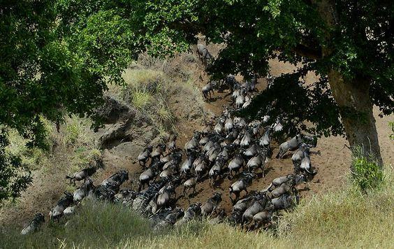 Besonders Gnus, Zebras, Gazellen und Büffel laufen einem dort in großer Anzahl über den Weg.