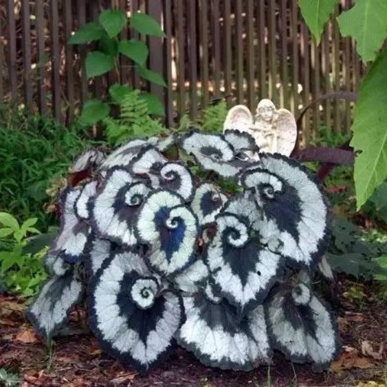 Rex Begonia, unusual and unique houseplants.