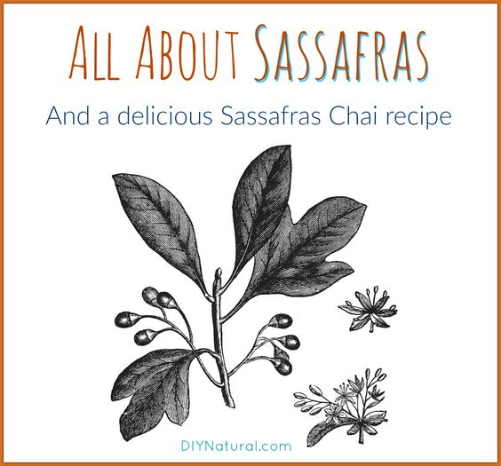 Sassafras root used to be heavily harvested, but confusion led to a lower use. Let's take a look at what it is, what it's good for, and a yummy Sassafras Chai recipe!