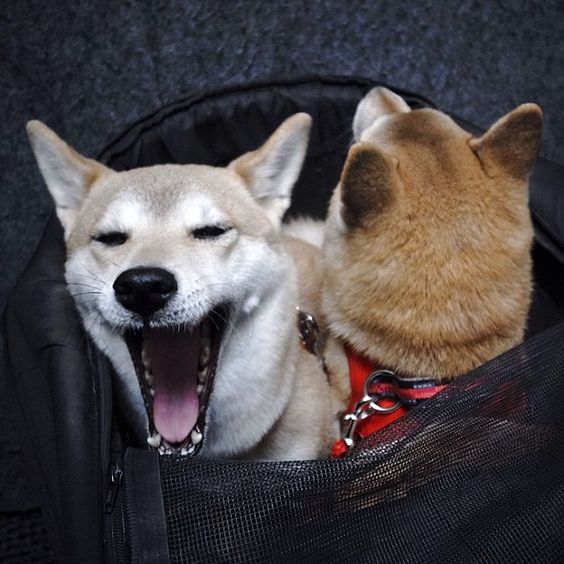#Shiba #Morning #Yawn #Dogs #Travel #Bags