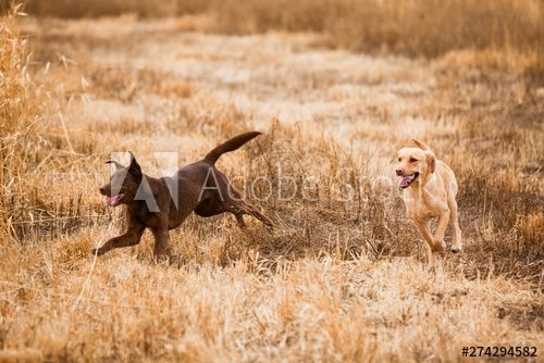 Two Labs Dakotah Yellow And Bailey Chocolate Begin Bird Hunting At A Sportsman S Access Area Outside Moscow Idaho In 2020 Bird Hunting Animals Labrador Retriever