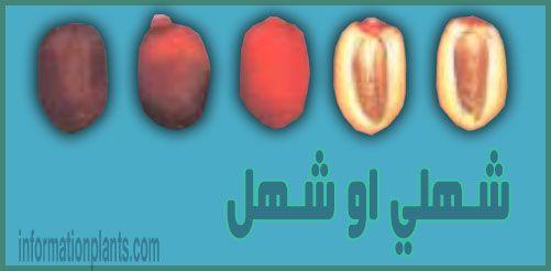 تمر شـهلي او شـهل عماني قسم التمور مع الصور قسم التمور انواع الاسماك مع الصور معلوماتية نبات حيوان اسماك فوائد Mani Vegetables Eggplant