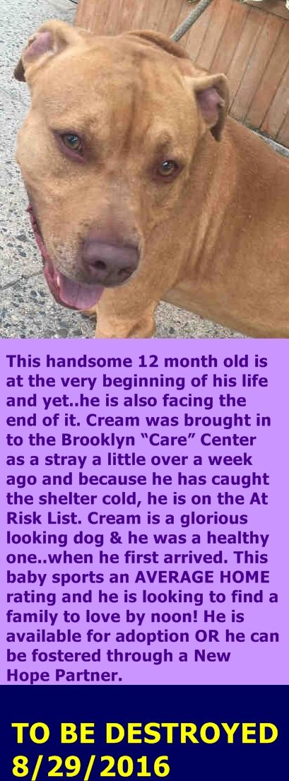 MURDERED 8/29/16 Brooklyn Center CREAM – A1086006 MALE, TAN / WHITE, AM PIT BULL TER MIX, 1 yr STRAY – STRAY WAIT, NO HOLD Reason STRAY Intake condition EXAM REQ Intake Date 08/18/2016 http://nycdogs.urgentpodr.org/cream-a1086006/