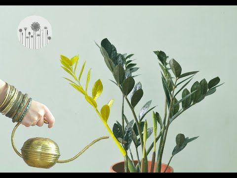 Dlaczego Zamiokulkas Zolknie Dlaczego Liscie I Lodygi Zamiokulkasa Zolkna Lub Zasychaja Youtube Indoor Plants Plants Garden