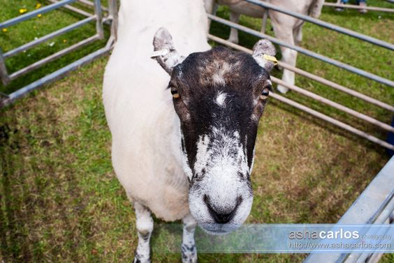 Sheep at Reaseheath College during the Open Farm Day