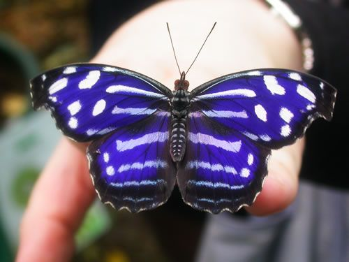 Blue-Banded Purplewing ~ This brilliant purple of this Central American species depends on the angle of view. The underside is silvery-grey and is camourflaged on bark and branches.