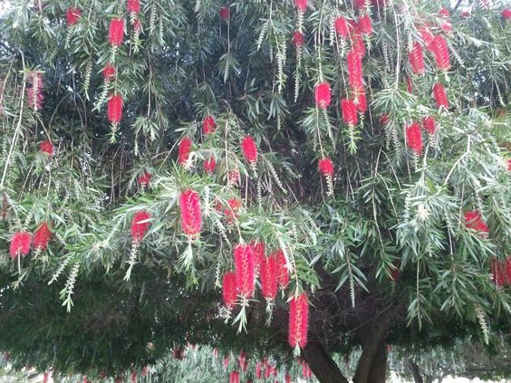 Bottlebrush Tree in the yard at Christ Fellowship Church in Palm
