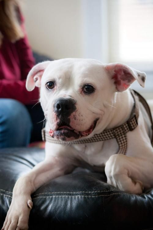 Adopt Emma On Adoption American Bulldog Mix Dogs