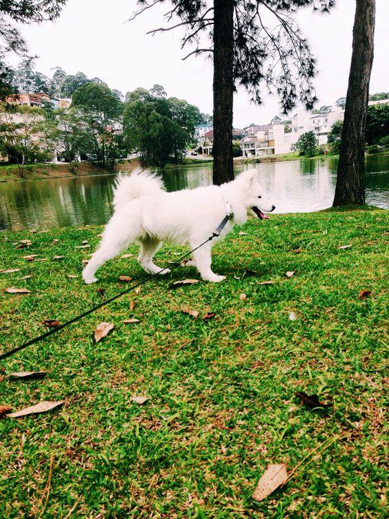 White Wolf #samoieda #canilhuffsiberian