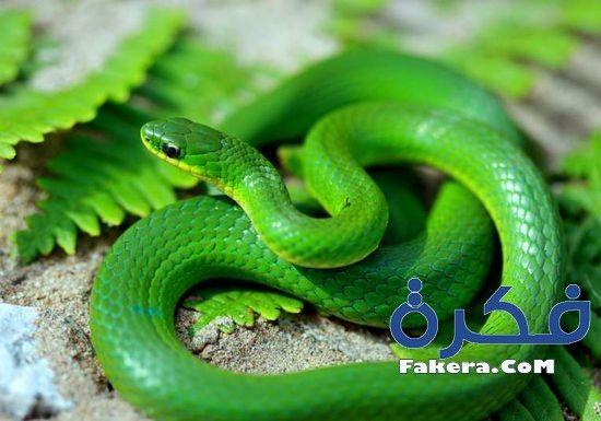 تفسير رؤية الثعبان في الحلم موقع فكرة Green Snake Snake Snake Facts