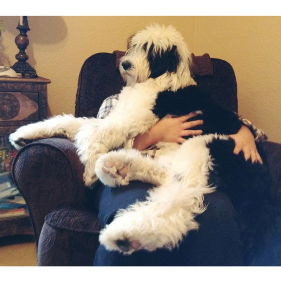 Sheepadoodle | future pets..I want a dog | Pinterest | To ...
