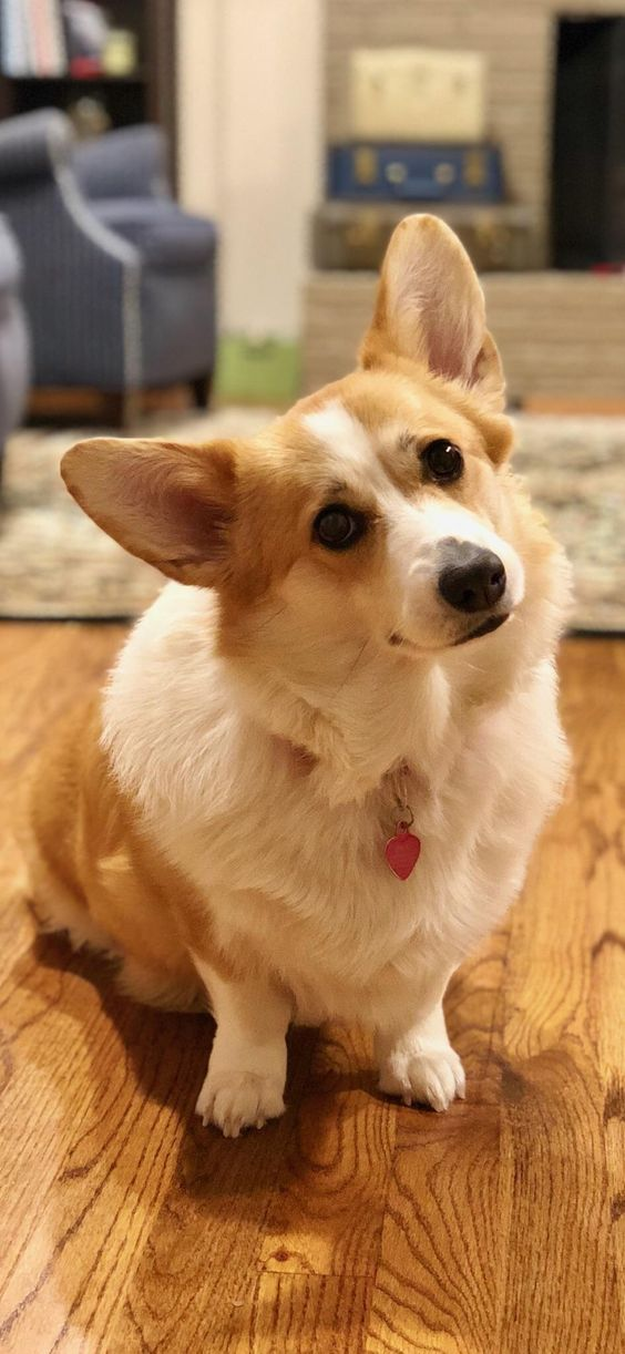 Meet penny shes turning 3 this year and shes the cutest little corgihttps://i.redd.it/g6qaxp1a9sn01.jpg