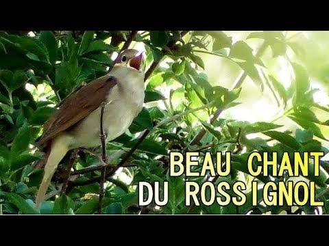 Rossignol Qui Chante Chant Du Rossignol Qui Vient D Arriver Chant Oiseaux Le Chant Des Oiseaux Oiseaux Des Jardins