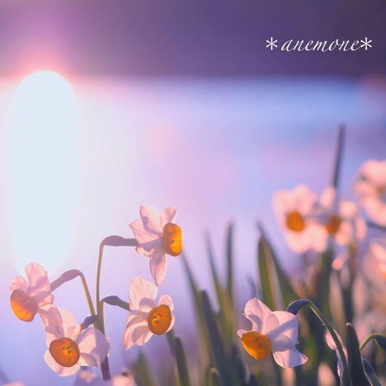 #水仙#narcissus#daffodil#flower