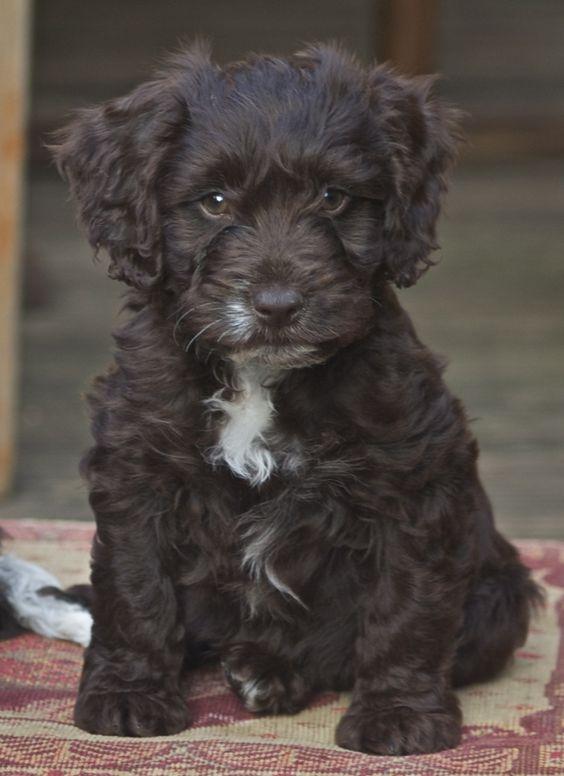 Gorgeous Black Cockapoo puppies £650