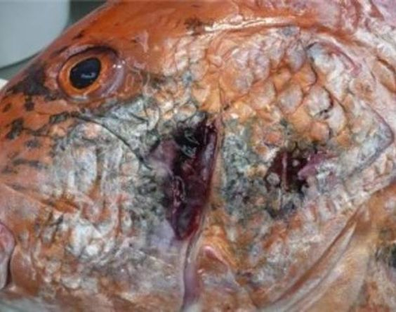 THE 'HORRIBLY MUTATED' SEAFOOD IN THE GULF OF MEXICO  BP oil spill: The 'horribly mutated' creatures living in the Gulf. Fish, shrimp, and crabs are missing eyes and suffering strange deformities, according to a harrowing new report — yet the FDA insists the seafood's safe to eat.