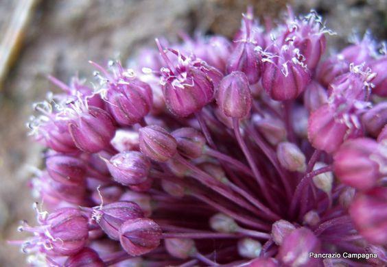 FLORA NEL SALENTO e.. anche altrove: Allium atroviolaceum Boiss - Amaryllidaceae - Aglio viola scuro