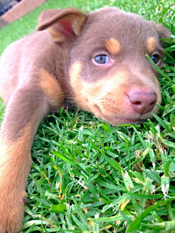 For My Iggy Kelpie Cross Collie Oh How Shes Grown She