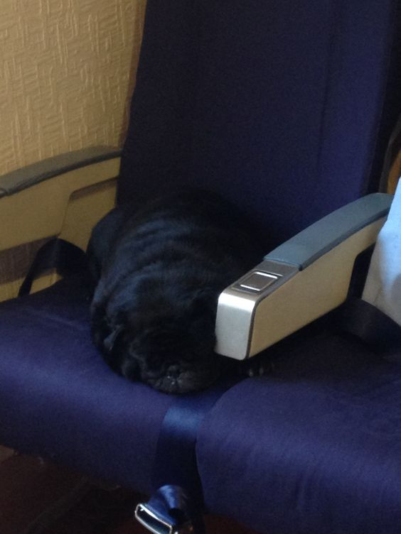 Pug asleep on my Boeing 737 airline seats