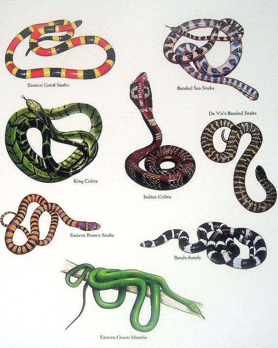 Snakes Eastern Coral Snake King Cobra By Mysunshinevintage 10 00