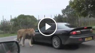 O leão dando uma ajudinha pra ver o carro pegar