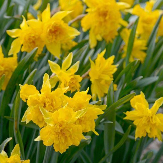 Die Narzisse 'Von Sion' bildet gelbe, gefüllte Blüten mit feinen Spitzen, die sternförmig darunter herausragen. Wunderschön! Pflanzzeit ist im Herbst - online erhältlich bei www.fluwel.de