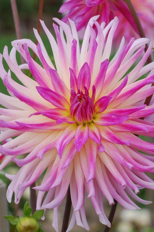 Cactus Dahlia Prestige Label Rouge