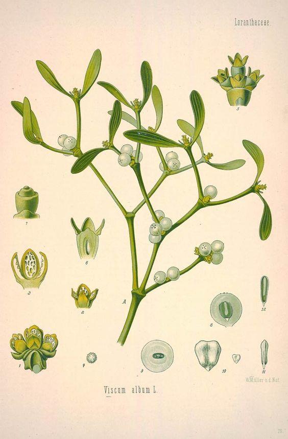 Mistletoe for High Blood Pressure