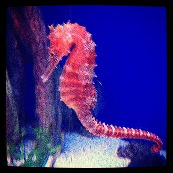 beautiful seahorse photography - Google Search | Marine ... Beautiful Seahorse Photography