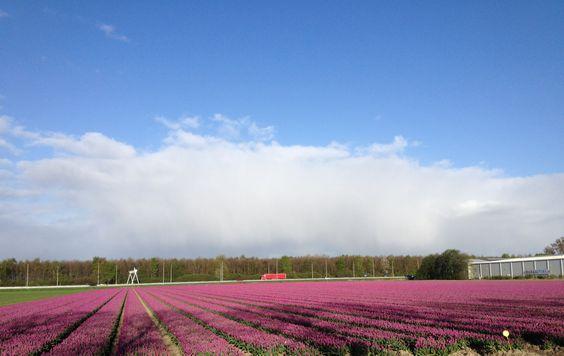 Paarse tulpen bij Emmeloord // #tulpenfestival #tulpenfestival2015 #stepnop #steptulpenfestival #tulpen #tulips #tulip #noordoostpolder