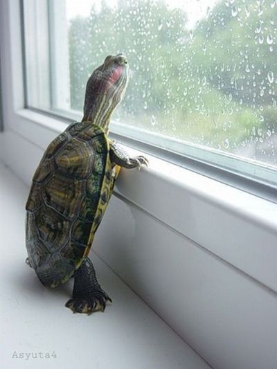 Make an inference/Provide a caption. (image only): Pet Turtle, Rain Go Away, Turtles Tortoise, Window, Rainy Days, Rain Rain, Adorable Animal