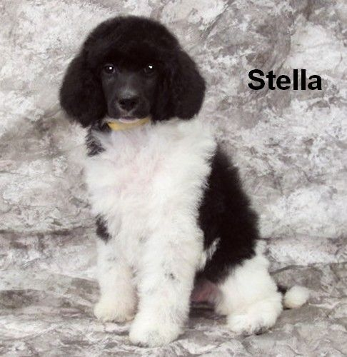 Parti Standard Poodle Puppies Smith Standard Poodles Poodle