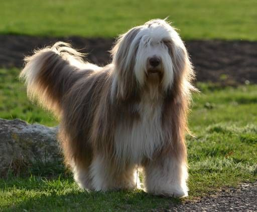 Bearded Collie Unusual Dog Breeds Bearded Collie Large Dog Breeds