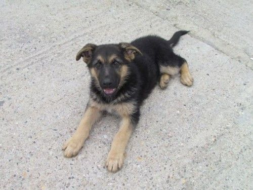 3 Month Old German Shepherd Puppy For