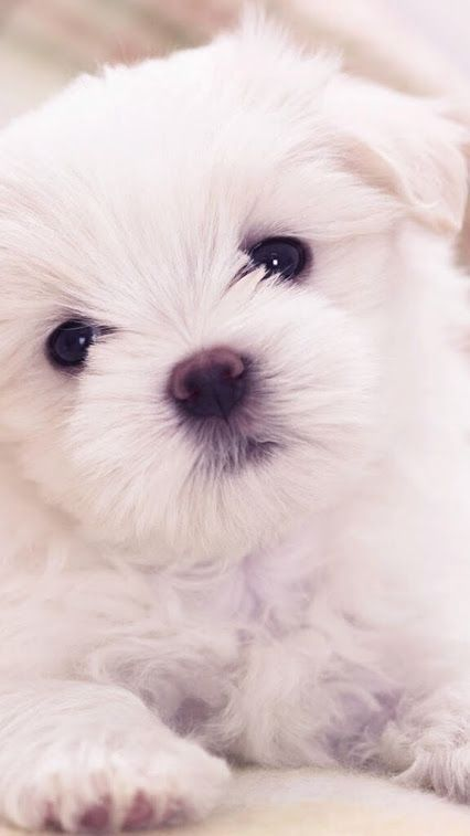 The breed name and origins are generally understood to derive from the Mediterranean island nation of Malta. #maltese