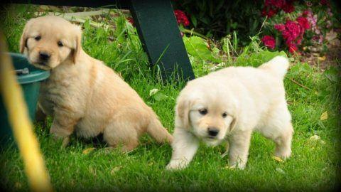 كلاب للبيع في أبو ظبي تواصل عبر الواتساب عبر الواتساب 13233645209 الجراء الذهبي المسترد الرائع متاح للتبني لدي ذكور وإ Labrador Retriever Labrador Animals